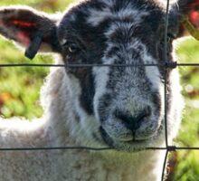 Ewe Looking At Me? Sticker