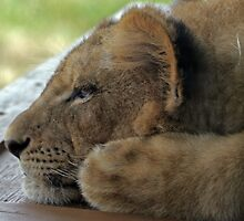 Relaxing Lion Cub by Judson Joyce