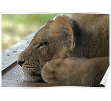 Relaxing Lion Cub Poster