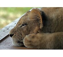 Relaxing Lion Cub Photographic Print