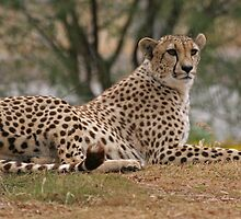 Relaxing and Ready to Pounce Cheetah by Judson Joyce