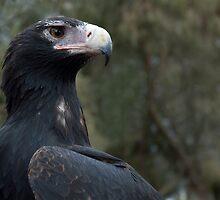 Alert eagle by Kath Bowman