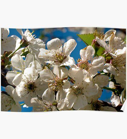 Apple Blossom II Poster