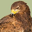 Tawny Eagle Portrait by M.S. Photography/Art
