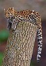 A Leopard's Tail by Krys Bailey