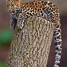 A Leopard&#x27;s Tail by Krys Bailey