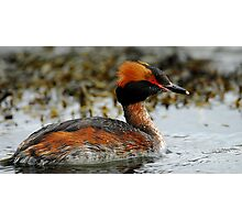 Slavonian Grebe Photographic Print