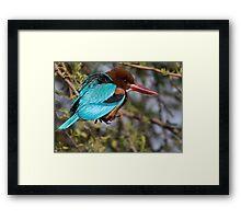 White Breasted Kingfisher III Framed Print