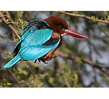 White Breasted Kingfisher III Photographic Print