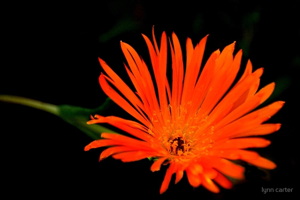 Lampranthus  Orange by lynn carter