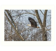 Adult American Bald Eagle  Art Print