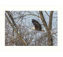 Adult American Bald Eagle  Art Print