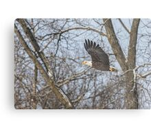 Adult American Bald Eagle  Metal Print
