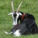 Aries The Ram by lynn carter