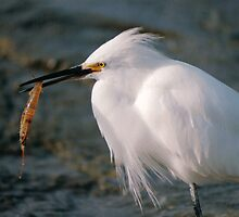 SNOWY EGRET WITH SHRIMP by TomBaumker