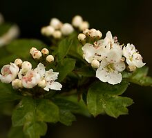 Apple Blossoms by heylisa