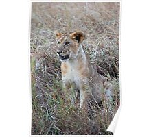 Young Lion in the Grass, Maasai Mara, Kenya Poster