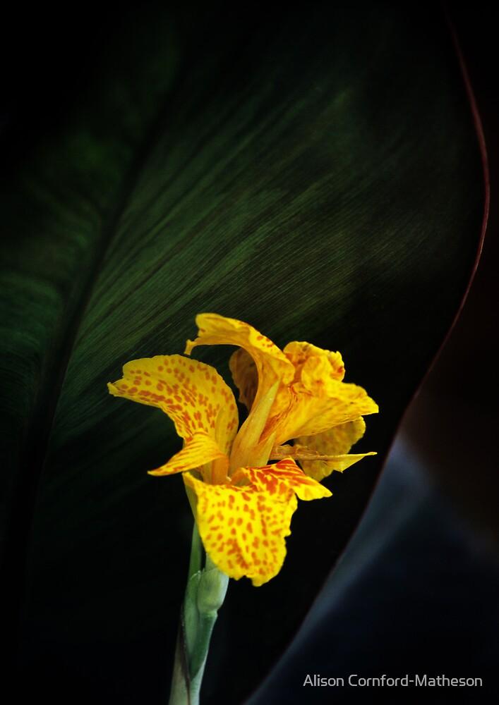 Canna Lily by Alison Cornford-Matheson