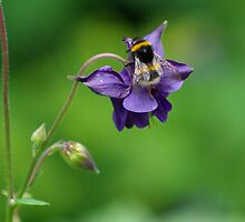 Aquilegia & Bumble Bee by Degri