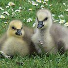 Lesser Snow Goose Goslings by AARDVARK
