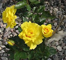 Sunshine Yellow Roses and White Wool by MidnightMelody