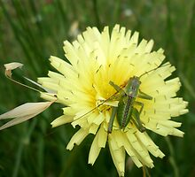 grasshopper by daffodil