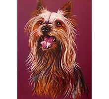 """Trouble"" A Portrait Of A Yorkshire Terrier Photographic Print"