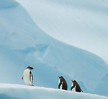 Gentoo Penguins on Ice by Simon Coates