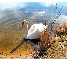 Sipping Swan Photographic Print