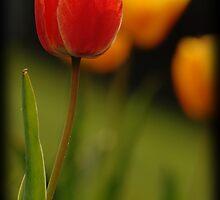 Tulips by Ryan Houston