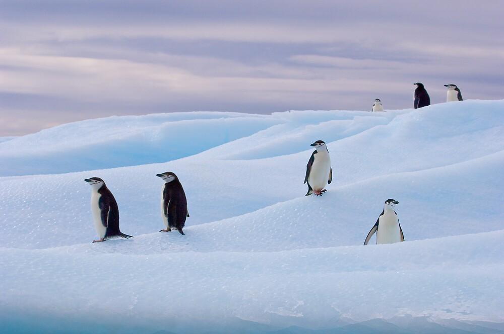 Chinstrap Penguins - Antarctica by Simon Coates