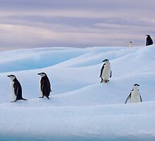 Chinstrap Penguins - Antarctica by Simon Coates