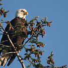 Bald Eagle  by Kimberly Palmer