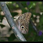 Owl Butterfly by greyrose