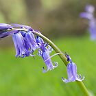 BLUEBELL by GemPhotography