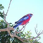 Parrot by Ian McKenzie