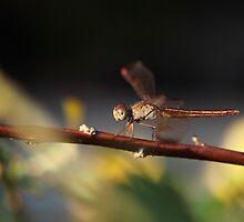 Dragonfly Stillness by kael