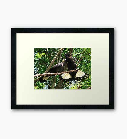 Yellow-Tailed Black Cockatoo - Male Adult & Young Framed Print