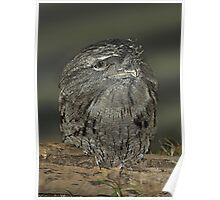 Tawny Frogmouth - Gippsland Poster