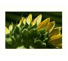 Sunflower Looking Away Art Print
