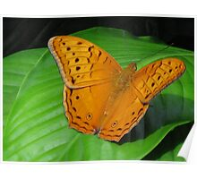 Male Cruiser Butterfly Poster