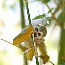Squirrel Monkey by Nathan Lesko
