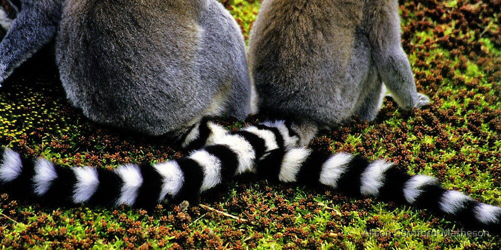 Lemur Tails by Alison Cornford-Matheson