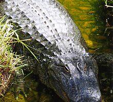 Alligator in Waiting by Kirsten H