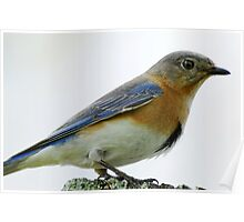Bluebird Encounter Poster