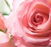 Pink Rose by Matthew Thompson