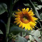 Sunflower Magic by Ali Brown