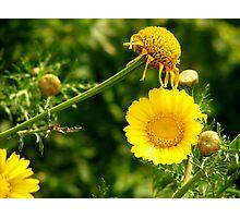 Maltese Flower  Photographic Print