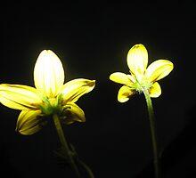 Bidens ferulifolia by MeghanFish
