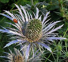 Eryngium giganteum by Irina777
